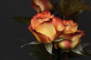 rose-3063284_1920